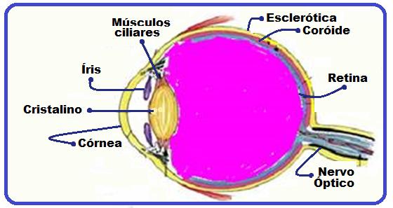 040edf9cc7 Ambas revestem todo o olho, exceto por uma abertura circular na frente,  para a entrada da luz.